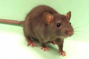 Ratinho-nho-nho